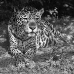 Nie żyje jaguarzyca Bora z opolskiego zoo. Miała 21 lat, była prapraprababcią