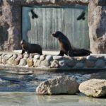 Małe uchatki kalifornijskie z zoo już w dużym basenie